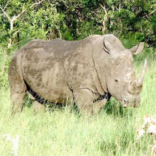 Grey Rhino Square