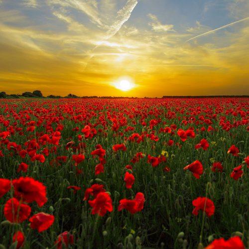 Poppy field Square